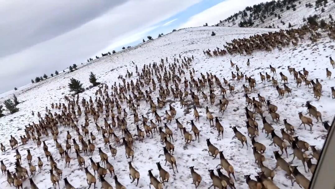 Ogromne stado jeleni biegnie po wzgórzach w Kolorado