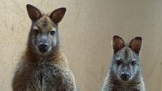 Rodzice z młodym kangurzątkiem