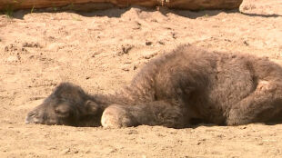 W łódzkim zoo urodził się wielbłąd dwugarbny. Ma dwa dni i już jest na wybiegu
