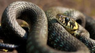 Strach przed wężami mamy zaprogramowany w umyśle